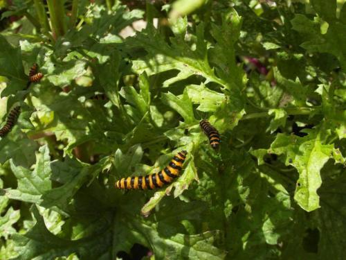 Cinnabar-Moth-Caterpillars