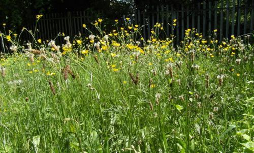 Meadow-Buttercups