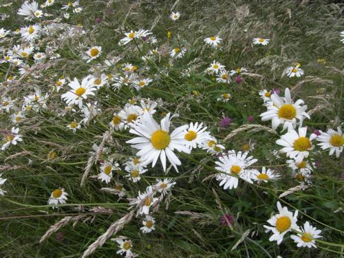 Ox-eye-daisies